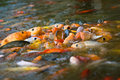 Koi feeding frenzy (1) Royalty Free Stock Images
