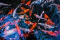 Koi fish in the fish ponds beautiful Stock Photo