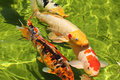 Koi fish group in water fishes a pond swimming Stock Photos