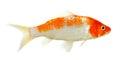 Koi Fish Isolated On The White...