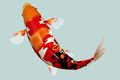 Koi fish japanese in water the colours are incredible Royalty Free Stock Image