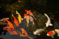 Koi fish in outdoor clear pond Royalty Free Stock Photos