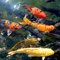 Koi fish in the pond bright Stock Image