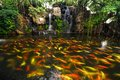 Koi fish in pond at the garden with a waterfall Stock Image