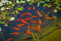 Koi fish in a pond Royalty Free Stock Photo