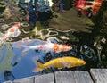 Koi in fish pond
