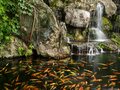 Koi fish in pond with a waterfall Royalty Free Stock Photo
