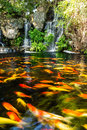 Koi fish in pond with waterfall Royalty Free Stock Photo