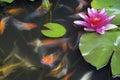 Koi fish swimming na lagoa com lírio de água Fotografia de Stock