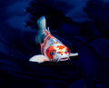 Koi fish swimming pond Royalty Free Stock Images