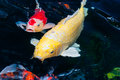 Koi fish swimming in the pond Royalty Free Stock Photography