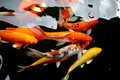 Koi fish swimming in pool various color Stock Photography