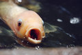 Koi fish tan japanese with mouth and eyes wide open Stock Photos