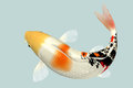 Koi fish top view for in water Stock Photo