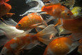 Koi fish underwater Royalty Free Stock Image