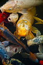 Koi fish in water, high angle view Stock Photography