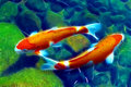Yin yang koi or carp fish in pond Royalty Free Stock Photo