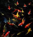 Koi fishes Arkivfoton