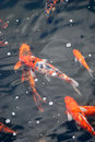 Koi fishes some brocaded carp swimming in a pool of water Stock Image