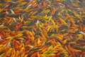 Koi goldfish in a feeding frenzy in a pond Stock Photography