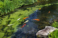 Koi in the Japanese garden Royalty Free Stock Photo