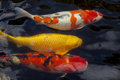 Koi large colorful fish swimming Royalty Free Stock Photography