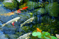 Koi pond Royalty Free Stock Photography
