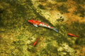 Koi in a Pond Royalty Free Stock Photo