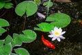 Koi Pond Royalty Free Stock Photo