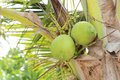 Kokosnüsse auf dem baum Lizenzfreie Stockfotografie
