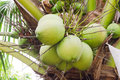 Kokosnoten die op palm hangen Royalty-vrije Stock Fotografie