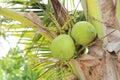 Kokosnoten op de boom Royalty-vrije Stock Fotografie