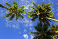 Kokosnuss-Palmen Stockfoto