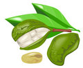 Kola nut with leaves Stock Photography
