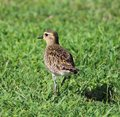 Kolea pacific golden plover is on the grass Stock Photography