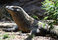 Komodo Stock Photography