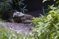 Komodo dragon alert and aware of his surroundings Royalty Free Stock Photos