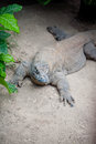 Komodo dragon in island indonesia Royalty Free Stock Photo