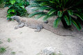 Komodo dragon in island indonesia Royalty Free Stock Images