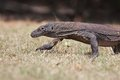Komodo dragon the large lizard in rinca island Stock Photos