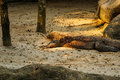 Komodo dragon lying on the sand in singapore zoo Royalty Free Stock Photography