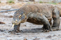 Komodo dragon in a mangrove swamp tongue extended and salive dripping from its mouth the region Royalty Free Stock Photography