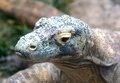 A komodo dragon at the memphis zoo stares intensely Stock Photography