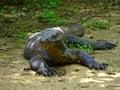 Komodo dragon with saliva.