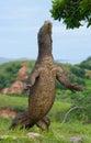 Komodo Dragon Is Standing Upri...