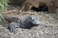 Komodo dragon varanus komodoensis rocky setting Royalty Free Stock Images