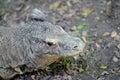 Komodo lizard a close up shot of a Stock Images