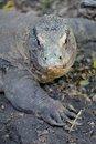 Komodo lizard a close up shot of a Stock Photos