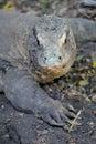 Komodo lizard a close up shot of a Stock Photos