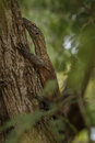 Komodo youngster dragon hidden on a tree Stock Photo
